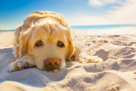Golden Retrievers Coming Soon to Dewey Beach
